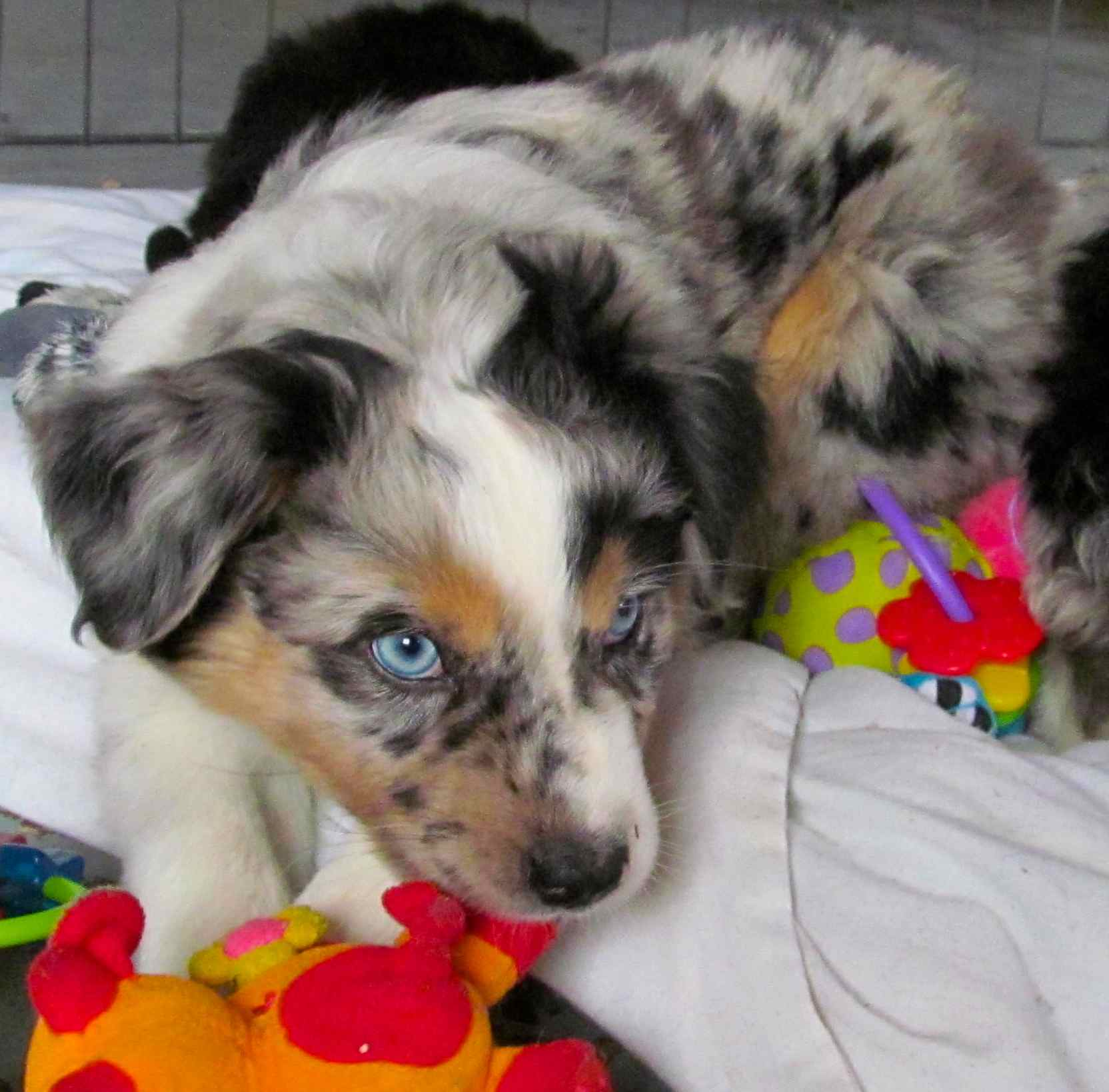 Ravine Acres Miniature Australian Sheperds